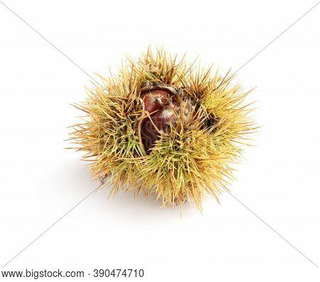 Fresh Sweet Edible Chestnut In Husk Isolated On White