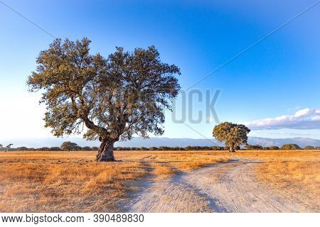 Spanish meadow in summer with a holm oak