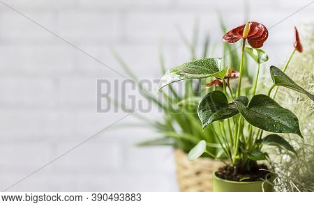 House Plant Red Anthurium In A Pot On A Wooden Table. Anthurium Andreanum. Flower Flamingo Flowers O