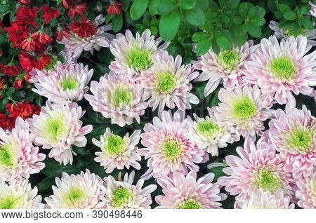 Pink Chrysanthemums With A Green Core. Hardy Chrysanthemums, Chrysanthemum Koreanum.