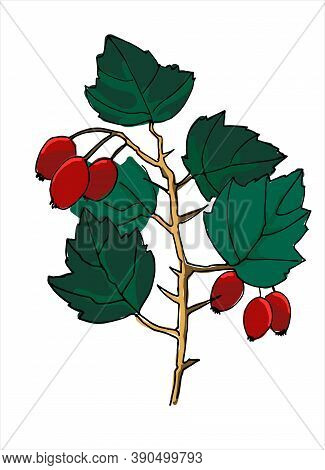Hawthorn Branch Colorful Line Art. Realistic Hand Drawn Vector Illustration Of Hawberry Tree Branch.