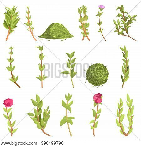 Thyme Icons Set. Cartoon Set Of Thyme Vector Icons For Web Design