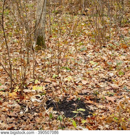 Active White-tailed Deer Scrape And Licking Branch To Leave Scent During Rut For The Breeding Season