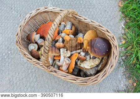 The Mushroom Picker Collected A Full Basket Of Ceps. A Good Harvest Of Delicious Mushrooms. Picking