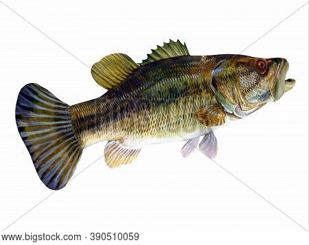 Redeye Bass Tail 3d Illustration - The Redeye Is Species Of Freshwater Bass Fish Found In Lakes, Riv