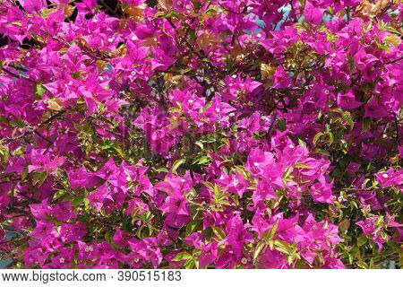 Large Bush With Bright Pink And Red Flowers Bougainvillea.