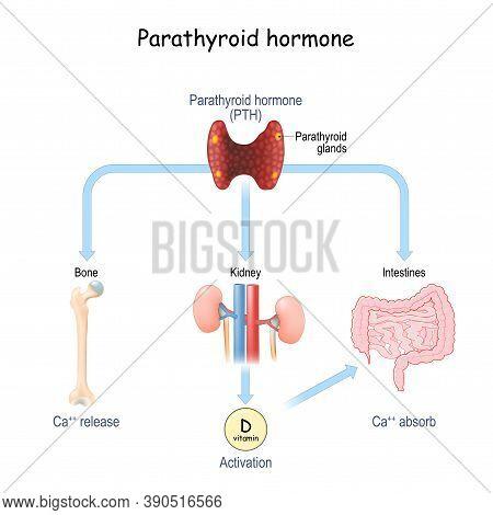 Parathyroid Hormone And Calcium Metabolism. Parathormone Or Parathyrin (pth) That Regulates Serum Ca