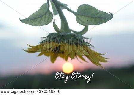 Motivational Words - Stay Strong. With The Sun And Sunflower At Sunset Sunrise Background. Strength