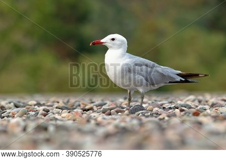 Audouin's Gull - Ichthyaetus Audouinii Bird Standing On The Beach, Large Mostly White Gull Restricte