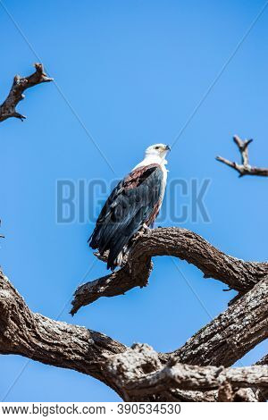African fish eagle observes the surroundings sitting on a dry tree. Exotic trip to the Horn of Africa, Southeast Kenya. Amboseli is a biosphere reserve by UNESCO