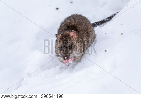 Brown Rat Is Eating Seeds Sitting On The Snow. The Brown Rat, Lat. Rattus Norvegicus, Also Known As