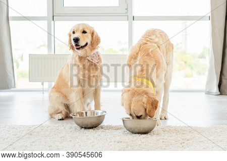 Golden retriever eating from another dog's bowl