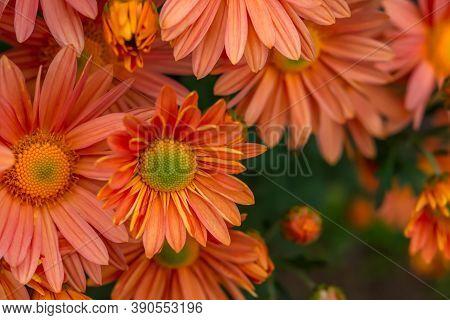 Orange Peach Chrysanthemums Close-up On A Blurry Garden Background. Autumn Flower Background. Full F
