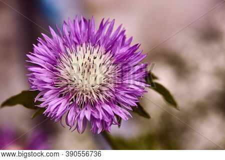 Thistle Flower With Insects On It.one Close-up Of A Field Of Purple Milk Thistle Close-up On A Bokeh