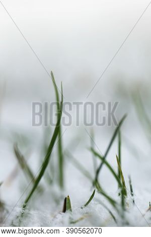 Grass In The Snow.rimes On Plants In The Garden. Winter Plant Background In Cold Tones. November And