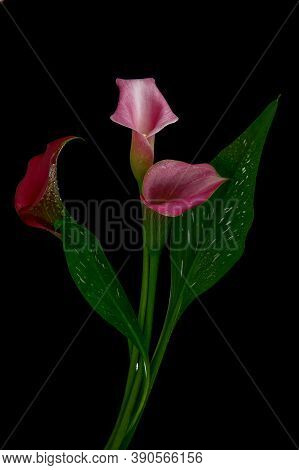 Calla Lily Flower Is Also Called The Trumpet Pig Or Arum Lily. Zantedeschia Aethiopica. Perennial He