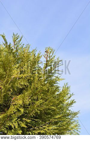 Western Red Cedar Martin - Latin Name - Thuja Plicata Martin