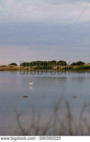 Pink Flamingos Hunting And Enjoying Fresh Water Of A Natural Reserve In The Cloudy Day And Feeding T