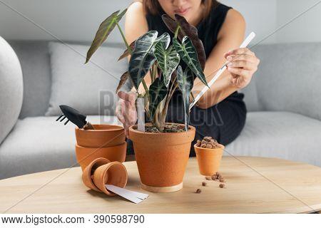 The Woman Hand Transplanting Alocasia Bambino Arrow Or Alocasia Sanderiana Bull In The Clay Pot On T