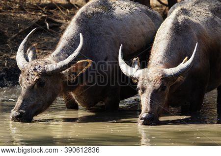Water Buffalo (bubalus Bubalis) Or Domestic Water Buffalo Is A Large Bovid Originating In The Indian