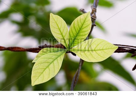 Green Leaves On Barb