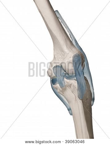 model of an Human knee