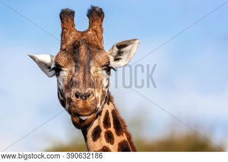 Cute Rothschild's giraffe, Giraffa camelopardalis rothschildi, with the tip of his tongue poking out. Blue sky and foliage background with space for text.