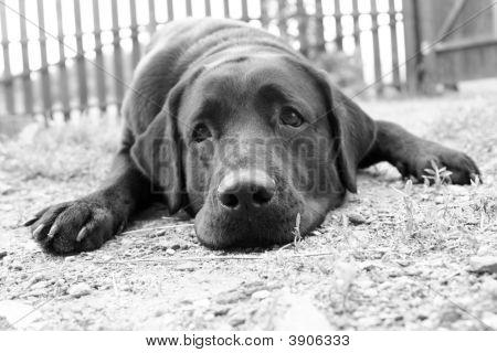 Cute Sad Dog In B&W