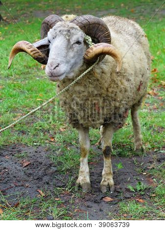 Sheep ram with horns over green grass background poster