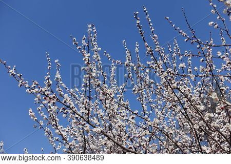Florescence Of Apricot Tree Against Blue Sky In April