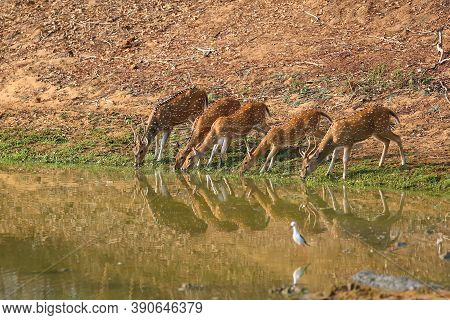 The Chital Or Cheetal (axis Axis), Also Known As Spotted Deer Or Axis Deer, Herd Drinking From Water