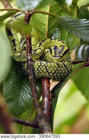 The Sri Lankan Pit Viper, Ceylon Pit Viper, Sri Lankan Green Pitviper Or Locally, Pala Polonga (trim
