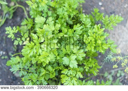 Bunch Of Parsley Grows On The Garden Bed. Green Parsley. Growing Herbs, Parsley Leaves. Soft Focus H