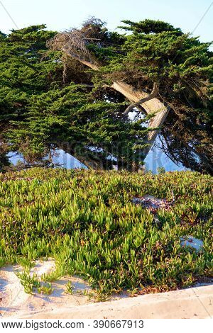 Windswept Cypress Pine Tree Besides Sand Dunes Covered With Succulent Ice Plants Taken At The Beach