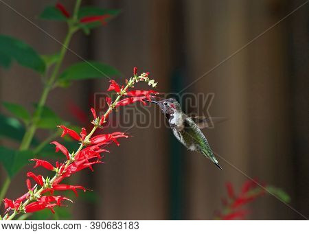 Close Up Of One Ruby Throated Hummingbird Drinking Nectar From Pineapple Sage Flowers. It Is By Far