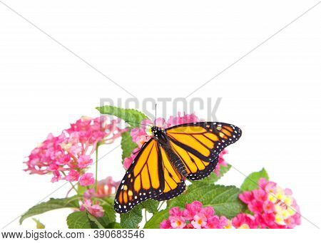 Close Up Of One Monarch Butterfly Resting On Pink And Yellow Lantana Flowers, Isolated On White. Win