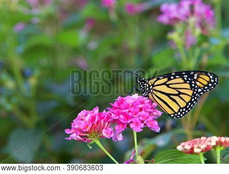 Close Up Profile View Of One Monarch Butterfly Sitting On Pink Lantana Flowers.