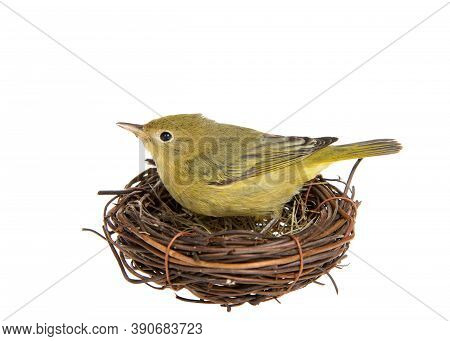 Profile Of An Adult Female Yellow Warbler Standing In A Small Nest Of Twigs, Isolated On White.