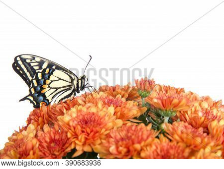 Profile View Of One Old World, Or Yellow Swallowtail Butterfly Perched On Orange Mums Flowers, Isola