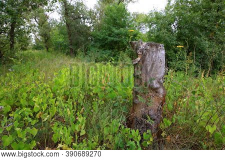 old dry tree stub in green forest