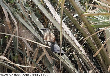 A White-browed Coucal Or Lark-heeled Cuckoo, Centropus Superciliosus, In A Shrub.