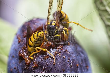 Wasps Eating A Plum