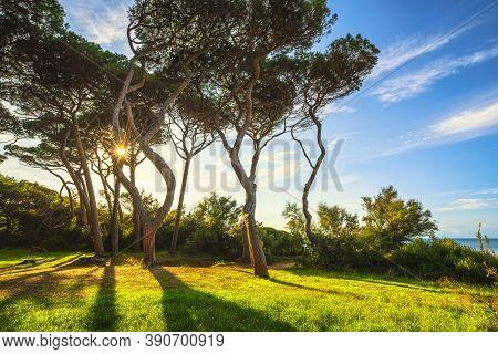 Pine Trees At Sunset In Maremma. Baratti Beach, Piombino, Tuscany, Italy