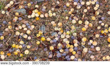 Wild Fruits. Various Natural Plum Fruit Photos