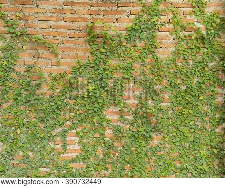 Red Brick Wall Pattern Surface Texture With Ivy Plant With Leaves, Green Creeper Bush And Vines. Mat