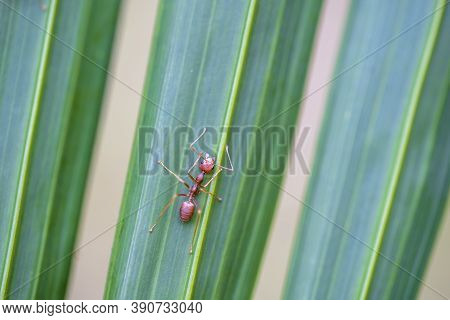 Red Ants Or Fire Ants On Green Palm Leaf, Thailand, Macro, Closeup