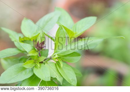 Sweet Basil Herb Growing In A Organic Garden. Thai Basil Leaf (ocimum Basilicum).