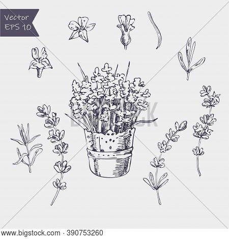 Vector Set Of Ink Hand Drawn Lavender Illustration In Lilac Color. Vintage Collection Of Lavender Fl