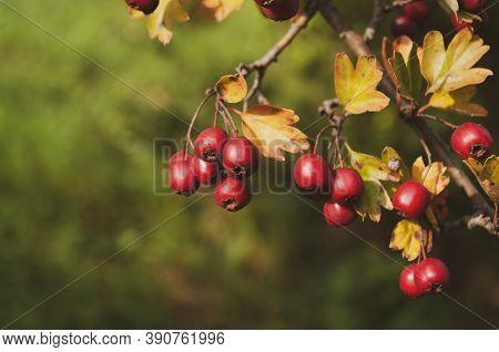Red Hawberry Of Crataegus Monogyna, Known As Hawthorn Or Single-seeded Hawthorn.autumn Harvest