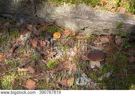 Leccinum Aurantiacum Aspen Mushroom Or Red Boletus With Cep In Forest Of Belarus. Gathering Red Bun